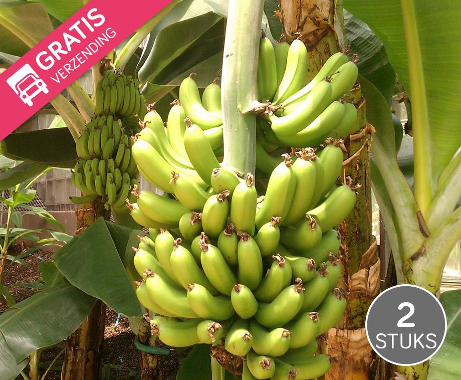Schitterende Winterharde Bananenbomen - Vandaag GRATIS Verzending!