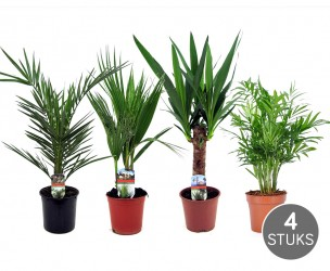 Set Van 4 Verschillende Palmbomen Voor Binnen!