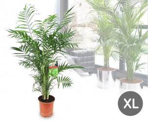 XL Chamaedorea Palm - Geleverd Met Een Hoogte Van 100-120 cm!