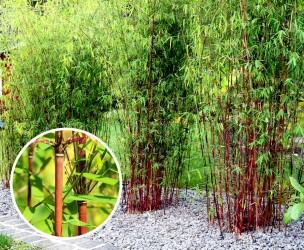 Set Van 3 Of 6 Winterharde En Niet-Woekerende Rode Bamboe!
