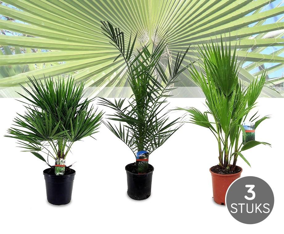 palmen f r balkon 6 winterharte palmen sonstiges f r den. Black Bedroom Furniture Sets. Home Design Ideas