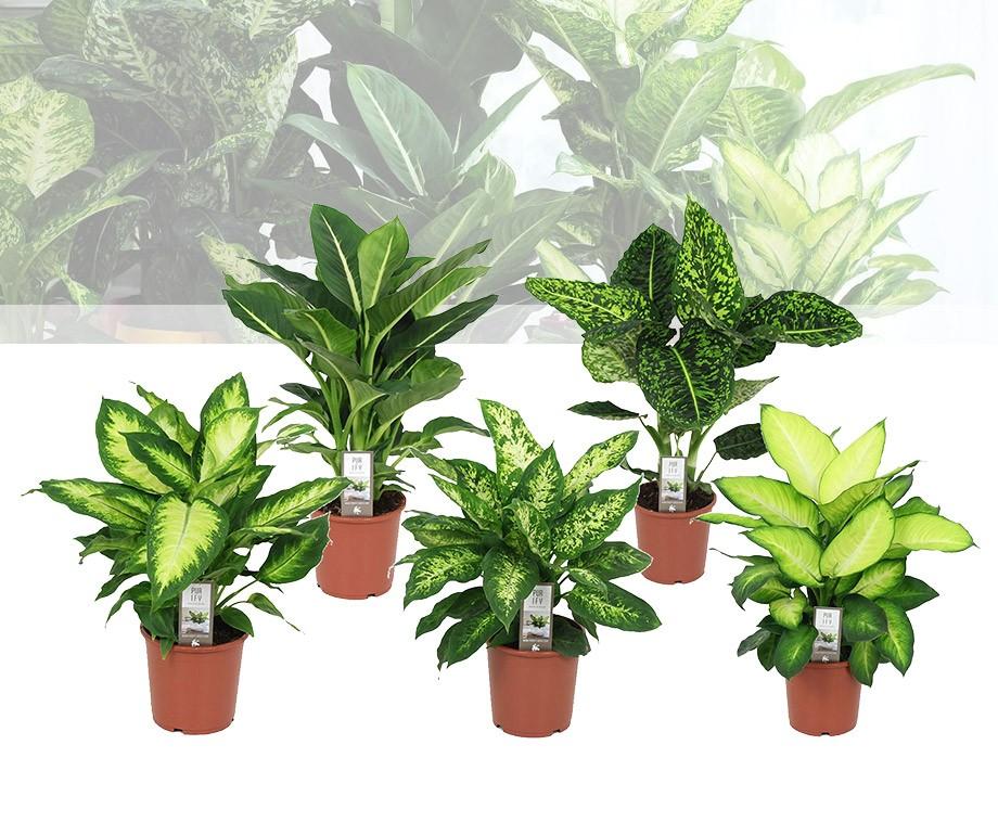 Tropische set van 3 of 6 dieffenbachia 39 s prachtige grote for Grote kamerplanten