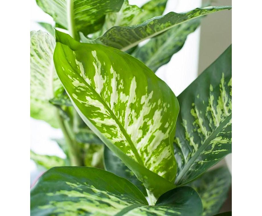 Tropische set van 3 of 6 dieffenbachia 39 s prachtige grote for Grote planten voor binnen