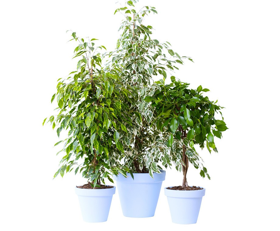 2 grote ficus benjamina kamerplanten woonplant van de for Grote kamerplanten