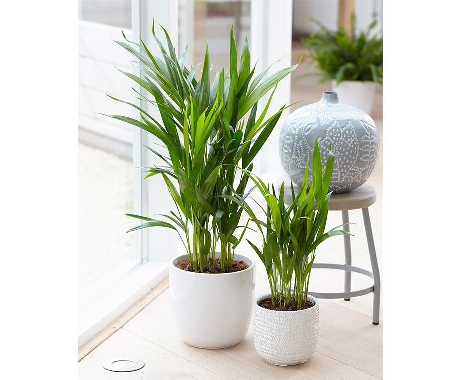 Set Van 5 Luchtzuiverende Planten Verbetert De Luchtvochtigheid Voordeelvanger Nl Dagelijks Topaanbiedingen