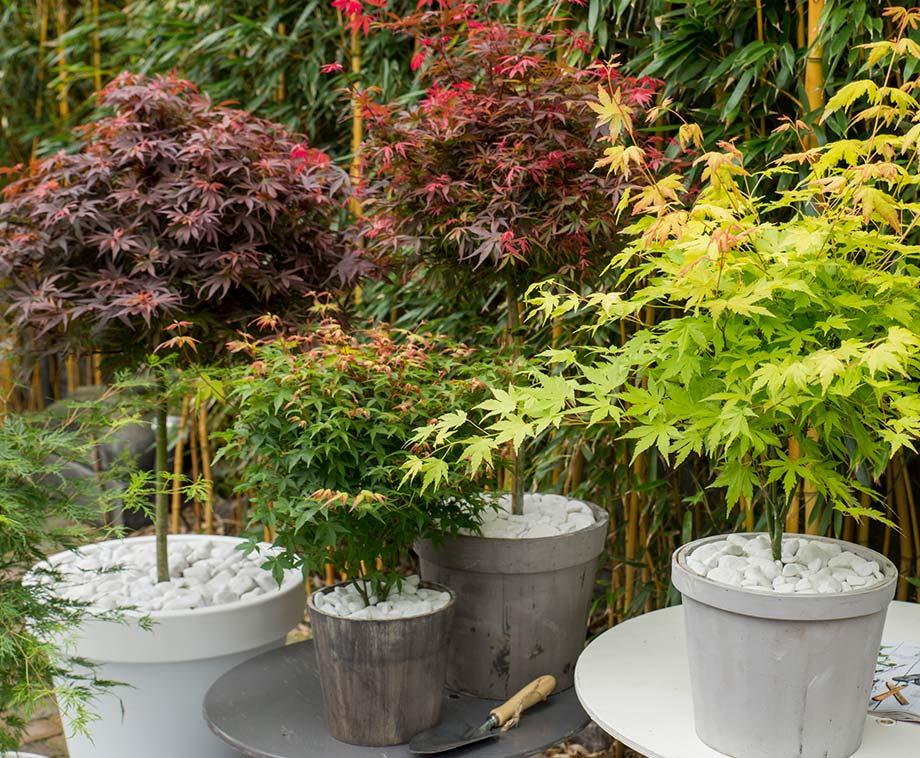 Set Van 4 Of 8 Japanse Esdoorns - Geeft Tuin Of Terras Een...