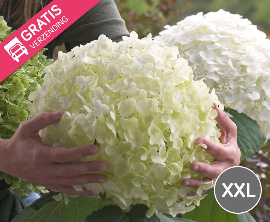 1 Of 2 XXL Hortensia Strong Annabelle - Vandaag Met GRATIS Verzending!